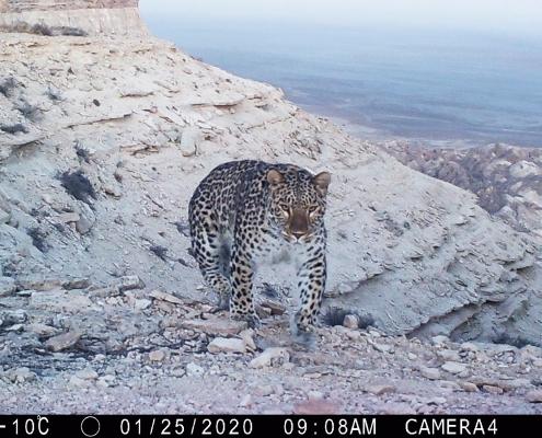 Persischer Leopard (Panthera pardus saxicolor)