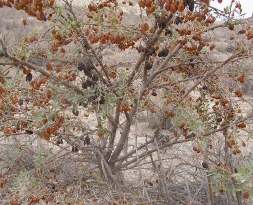 Halimodendron halodendron © Arasmurad Amanow